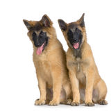 Belgian Tervuren Puppies Royalty Free Stock Images