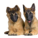 Belgian Tervuren Puppies Stock Photography