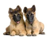 Belgian Tervuren Puppies Royalty Free Stock Images