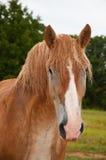 belgian zakrywająca brudu szkicu konia czerwień zdjęcia stock