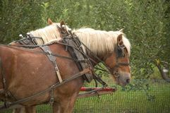 Belgians Hitched up. A pair of large Belgian horses hitched to a wagon Royalty Free Stock Photo