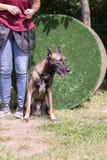 Belgien herdehund arkivbild
