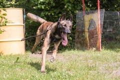 Belgien herdehund royaltyfria bilder