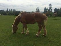 Belgien-Pferd Stockfoto