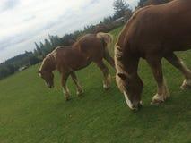Belgien-Pferde Stockfoto