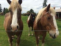 Belgien-Pferde Lizenzfreie Stockfotos