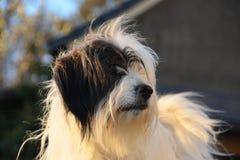 Belgien-Schäferhundhund und Randcolliehund Stockfoto