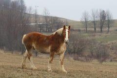 Belgier-Pferd lizenzfreie stockbilder