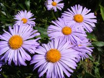 Belgii y dimosus violetas del novi del aster en d?a soleado Fondo de la flor fotografía de archivo
