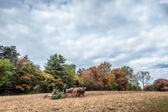 Belgijscy szkiców konie ciągnie pług na Amish gospodarstwie rolnym w jesieni Fotografia Stock