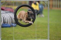 belgijska shepherd jumping fotografia stock