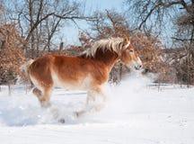 belgijski ładować głęboki szkicu konia śnieg Obraz Stock