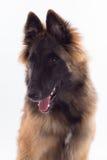 Belgijski bacy Tervuren psa szczeniak, sześć miesięcy starych, headshot Obraz Stock