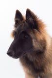 Belgijski bacy Tervuren psa szczeniak, sześć miesięcy starych, headshot Obrazy Stock
