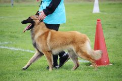 Belgijski pasterski pies tervueren czego chodzi przy ciekami jego mistrz dla psiego konkursu zdjęcia royalty free