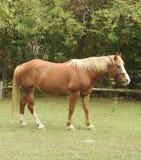 Belgijski szkicu koń w paśniku Obrazy Stock