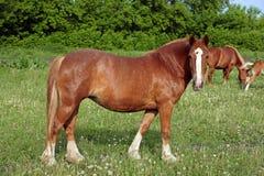 Belgijski szkicu koń w trawie Obrazy Stock