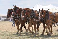 Belgische Entwurfs-Pferde 4 nebeneinander am heißen Tag Stockfoto
