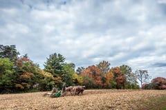 Belgische Entwurfs-Pferde, die einen Pflug auf einem amischen Bauernhof im Herbst ziehen Stockfotografie
