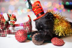 Belgische Griffon in een Kerstmiskostuum Royalty-vrije Stock Foto's