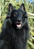 Belgische herder Stock Foto