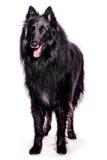 Belgische herder Stock Fotografie