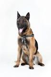 Belgische Herder Dog Stock Foto