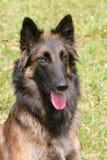 Belgische Herder Dog in de tuin Stock Foto's