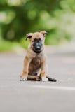 Belgische Herder Dog (Malinois) Royalty-vrije Stock Afbeelding