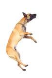 Belgische herdershond royalty-vrije stock afbeelding