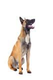 Belgische herdershond stock foto