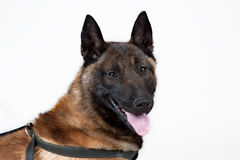 Belgischer Schäfer Dog Stockfoto
