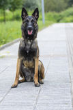 Belgischer Schäfer Malinois 12 Monate Lizenzfreies Stockfoto