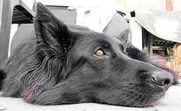 Belgischer Schäferhund Stockfotos