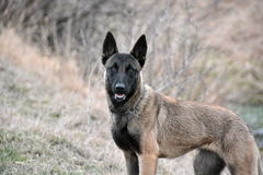 Belgischer Schäferhund Lizenzfreies Stockfoto