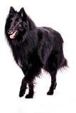 Belgischer Schäferhund Stockfoto