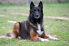 Belgischer Schäferhund tervueren lizenzfreie stockfotos