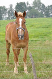 Belgisches Entwurfs-Pferd auf dem Gebiet Stockfoto