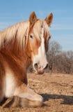 Belgisches Entwurfspferd, das in der Weide ein Schlaefchen hält Stockfotos