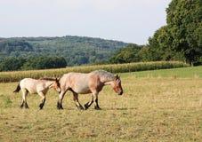 Belgisches Entwurfspferden-Stutenfohlen und -stute Stockfotografie