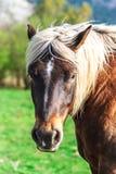 Belgisches Pferd Brabancon auf dem Ackerland, Elsass, Frankreich Lizenzfreie Stockbilder
