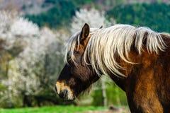 Belgisches Pferd Brabancon auf dem Ackerland, Elsass, Frankreich Stockbilder