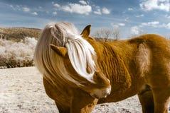 Belgisches Pferd Brabancon auf dem Ackerland, Elsass, Frankreich Infrare Lizenzfreie Stockbilder