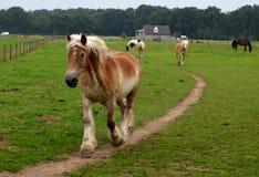 Belgisk drakehäst bråttom Arkivbild