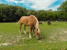 belgisk häst Arkivfoto