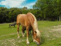 belgisk häst Royaltyfria Bilder