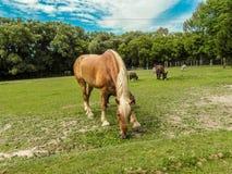 belgisk häst Royaltyfri Bild