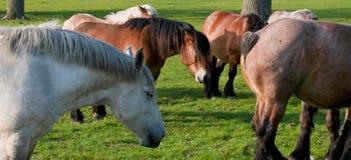belgisk häst Royaltyfria Foton