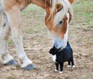 belgisk kattutkasthäst Royaltyfri Foto