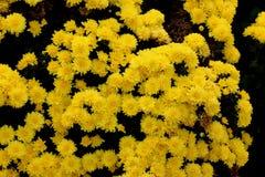 Belgisk Mum Allegra Yellow, Allegra Yellow för krysantemummorifolium` `, Arkivbilder